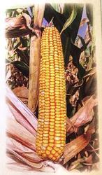Кормовая кукуруза Машук 480 СВ